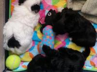 HAVANESE Beautiful little girls DOB 07/15/2015 6 weeks