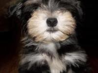 Havanese pups, Fluffy small breed, vet checked, good