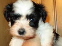 Three Havanese puppies born May 16th to AKC registered