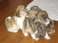 Really cute. 4 young puppies available- 2 Male and 2