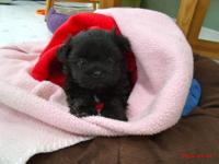 Very sweet Havanese/Shih Tzu cross puppy. He will be 8