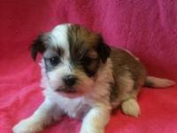 We have a 3 week old litter of Havanese / Shih Tzu