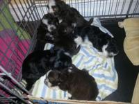 Male Havanese/ Shih Tzu puppies are a sweet, healthy