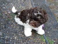 AKC Havanese Two Chocolate females with chocolate nose,