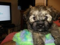 I have a Handsome Havapom male puppy, Sable colored,