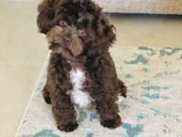 Top quality Havapoo Cavapoo puppies. Moms are AKC
