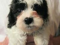 Born May 11th, 2015. Mix of an AKC Havanese and an AKC