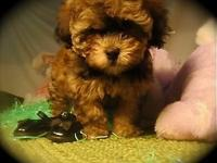 CUDDLES: is a 9wk. aged women HavaShiPoo new puppy. She