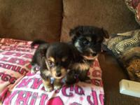 I have 2 Havashire (Havanese/ Yorkshire Terrier) young