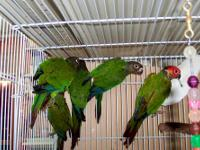 I have a pair of rosifrond conures ( brother & sister)