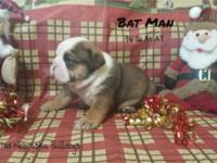 Have Santa bring you a AKC English bulldog puppy ready