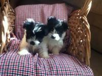 I have 2 havanese/Papillon/jack russell female puppies!