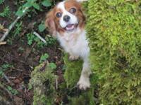 Hayley is a 4 yr. UKC Registered, Cavalier. She Is SO