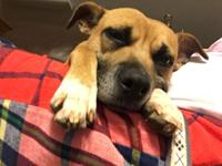 Hazel is a 3 year old female Boxer mix. She is about 40