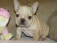 hdhd hdbd Cute French Bulldog puppies for sale, they