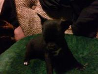 Sweet and loving male teacup chihuahua parents on