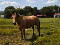 Register AQHA Little Buttons Bells #  Buckskin Mare 12