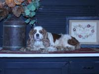 # AKC KING CHARLES CAVALIER SPANIEL PUPS AND RETIREES