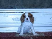Miniature/standard King Charles Cavalier Spaniel young