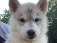 Gorgeous Siberian Husky Puppies Available Now! 3 Males