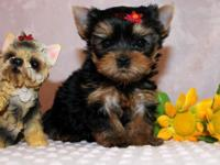 Animal Type: Dogs Breed: yorkshire Little Melissa and