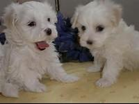 Two Beautiful AKC Maltese puppies Available genetic