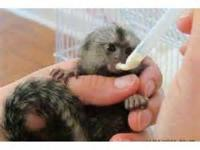 Cute baby Male & Female Capuchin & Marmoset Monkeys for