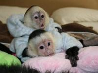 These our lovely Male and Female baby Capuchin Monkeys