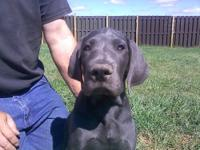 Beautiful Purebred Great Dane puppies ready by