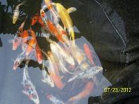 "Selling at wholesale ridiculous low prices. 5-16"" Koi."