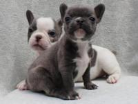 Animal Type: Dogs Breed: French Bulldog Healthy blue