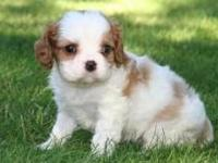 We had a litter of Cavalier King Charles Spaniel