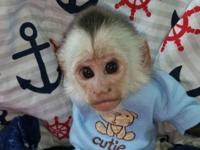 Female Capuchin monkey for sale. Very sweet little
