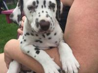 Potty and home trained Dalmatian puppies from well