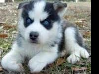 healthy male and female Siberian husky  puppies for