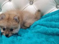 This gorgeous female Pomeranian is available.He loves