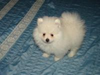 Healthy Pomeranian pure breed available we do have some