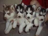 We have available  gorgeous Siberian husky