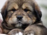 Tibetan Mastiff puppies with excellent temperament,