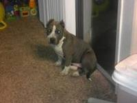 3 month old UKC papered blue nose pit puppies.