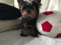I have my lovely 13 weeks old pure breed Yorkie boy for