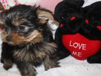 Healthy yorkie puppies for adoption.I am having 2