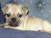 Male and Female Pug/Yorkie mix puppies are ready for