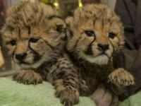 The following cubs are now ready for sale to