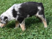 Healthy  Australian shepherd Puppies.Amazing Australian