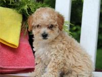 11 weeks old Poodle puppies ready for adoption. The