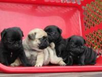 Animal Type: Dogs Breed: Pug Healthy Pug puppies