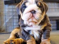 We are dedicated to breeding the best English Bulldog