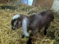 ♥ Nubian buckling for sale $25 For pet, 4-H or