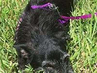 Heather the Scottie!!'s story This is a breed very rare